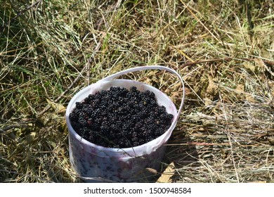A pail of freshly picked blackberries sits on the ground, ready to be taken home.
