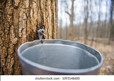 Pail used to collect sap of maple trees to produce maple syrup in Ontario
