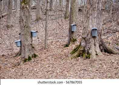 Pails and taps hang from maple trees at this Michigan farm, where sap is collected to hold the delicious stuff used to make maple syrup.