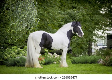 paint black and white tinker horse posing in a green meadow and looking at camera