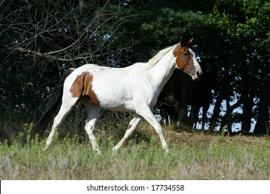 Paint horse with dark background