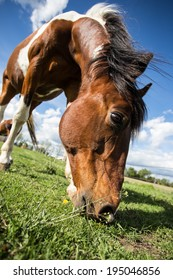 Paint horse grazing closeup (wide angle, bottom up) with mane flying in wind