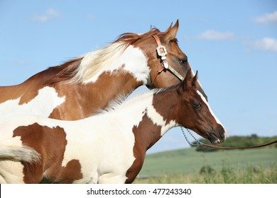 Paint horse mare with its foal on pasturage