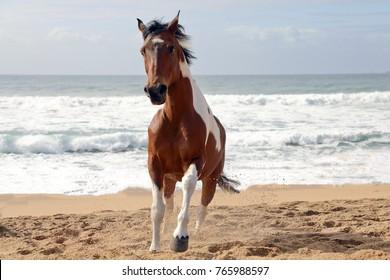 Paint horse running on the beach