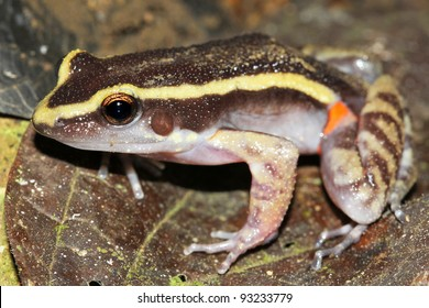 The Painted Antnest Frog (Leptodactylus lineatus) in the Peruvian Amazon
