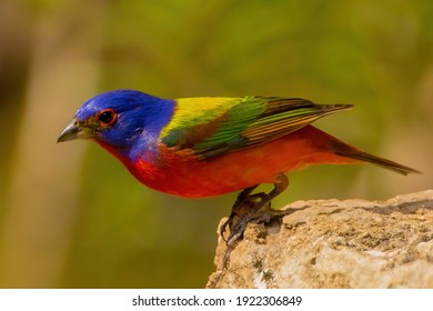 Painted Bunting is America's Most Beautiful Songbird