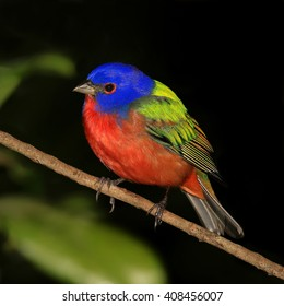 Painted Bunting Perched In Tree