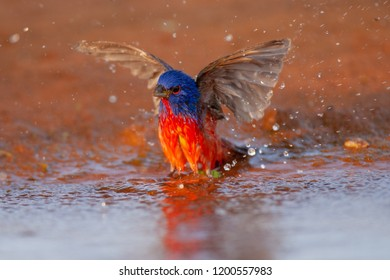 Painted Bunting taking a bath in a water pond during spring migration at Laguna Seca Ranch, April 17, 2015 in Edinburg, TX.