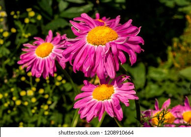 Chamomile garden perennial - a symbol of purity and Russia