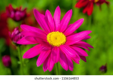 Painted daisy in the summer garden.