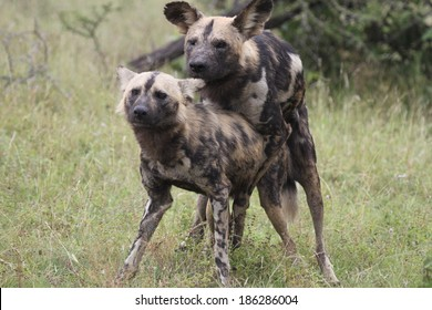 Painted dogs mating