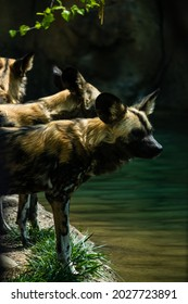 Painted Dogs standing by a river