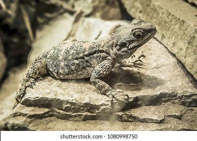 Painted Dragon (Stellagama stellio brachydactyla) lizard perched on grey rocks looking upwards