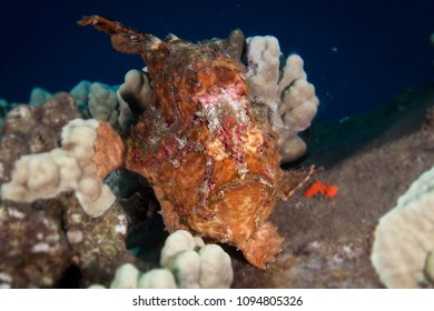 Painted frogfish from Maui Island