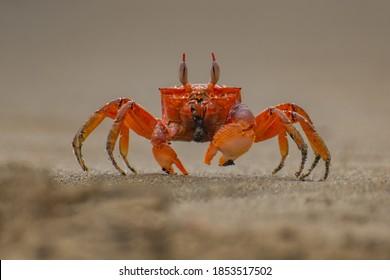 Painted ghost crab, cart driver crab, Ocypode gaudichaudii, on the beach. Isla de la Plata, Machalilla national park, Ecuador