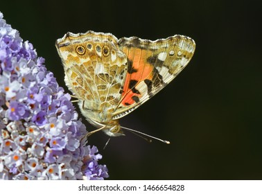 Painted Lady butterfly in close-up