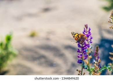 Painted Lady Butterfly and Desert Lupine