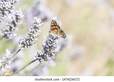 Painted Lady Butterfly and flower at BC Canada