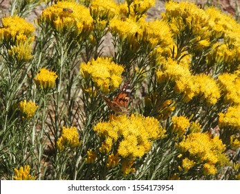 Painted Lady Butterfly and a honey bee, perched upon yellow sagebrush flowers, San Gabriel Mountains, California.
