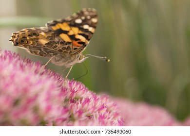Painted Lady Butterfly on Autumn Joy Sedum flowers.