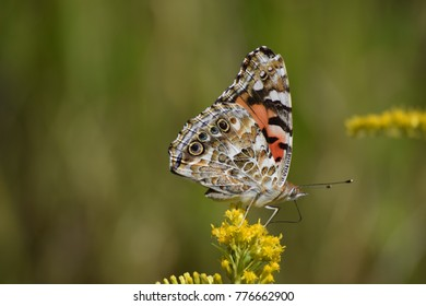 A Painted Lady Butterfly on goldenrod  flower