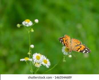 Painted lady butterfly on mayweed. The valley of the river Pshish, the Main Caucasian ridge. Characteristic summer photo