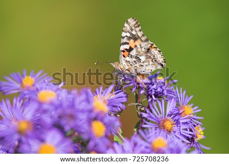 painted-lady-butterfly-on-new-450w-72570