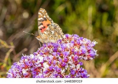 Painted lady butterfly, on purple flower