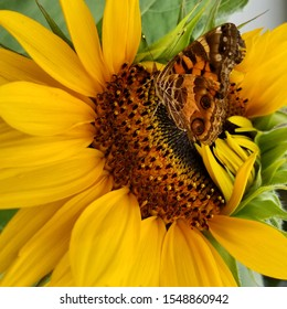 Painted Lady Butterfly on a Sunflower