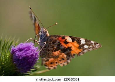 Painted Lady Butterfly on a Thistle Flower in South Africa
