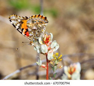 A Painted Lady butterfly pollinates a wildflower