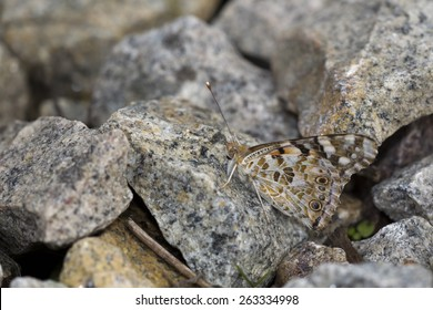 A Painted Lady butterfly resting on a sunny rock, Cornwall, England, UK. Its underwing pattern camouflages well with the granite rock.