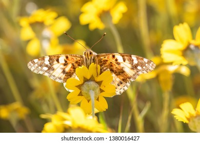 Painted Lady butterfly sucking nector from hillside daisy, Carrizo Plain National Monument, CA