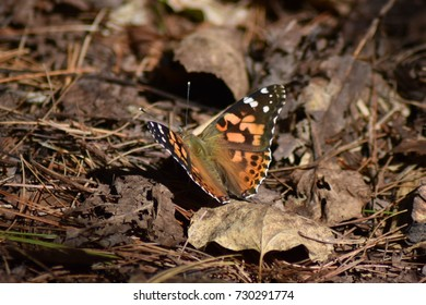 Painted Lady butterfly in a sunny spot on the forest floor