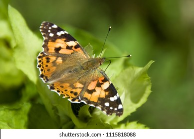Painted Lady butterfly - Vanessa cardui, beautiful colored butterfly from European meadows and grasslands.