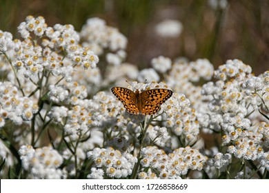 Painted Lady butterfly (Vanessa cardui) at rest on pearly everlasting flowers (Anaphalis margaritacae) in Blue Mountains in eastern Oregon