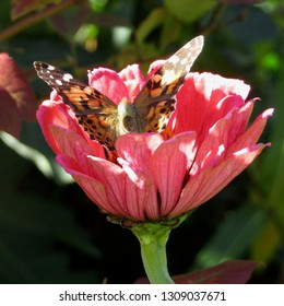 Painted lady butterfly (Vanessa cardul) gathering nectar on pink zinnia flower (Z. elegans) in northern New Jersey garden October 2017