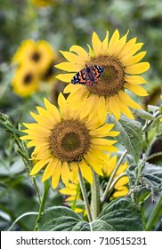A painted lady butterfly visits sunflowers in a field in the Midwestern United States.