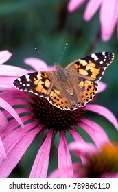 Painted lady butterfly with wings out on cone flower. Vanessa cardui