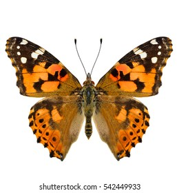 Painted Lady (Vanessa cardui) beautiful orange and brown butterfly lower wings in natural color isolated on white background, pascinated nature