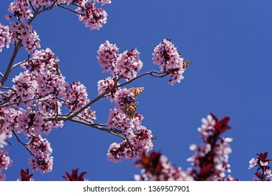 painted lady or Vanessa cardui butterflies on pink blossoms with blue sky background