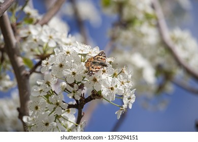 painted lady or Vanessa cardui butterflies on white blossoms