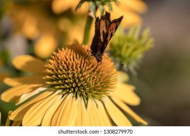 Painted Lady (Vanessa cardui), butterfly feeding on Black eyed Susan(Rudbeckia hirta), in garden