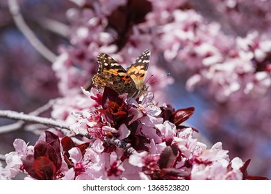 painted lady or Vanessa cardui butterfly on pink blossoms