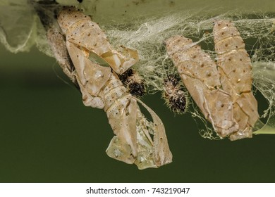 Painted lady, Vanessa cardui butterfly empty chrysalis