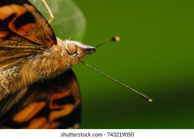 Painted lady, Vanessa cardui butterfly