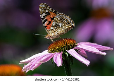 Painted lady or Vanessa cardui a well-known colorful butterfly on Echinacea flower. The flower is an herbaceous flowering plant in the daisy family. It is commonly called coneflower.