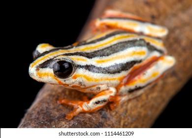 Painted Reed Frog (Hyperolius marmoratus taeniatus)