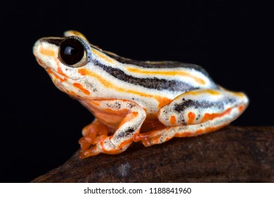 The Painted Reed Frog (Hyperolius marmoratus taeniatus) is a spectacular reed frog species found in Southern Africa.