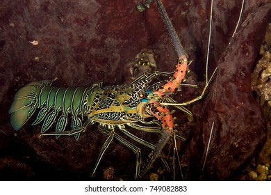 Painted Rock Lobster